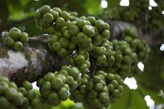 一圆的绿色tibig果子 免版税库存图片