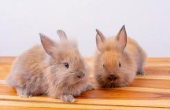 一在人一个前面的一点棕色兔子或兔宝宝逗留有白色背景 免版税库存图片