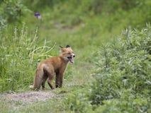 一在狂放的一只小的狐狸 免版税库存照片