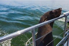 一在骨骼附近岸的海狗游泳巨大的牧群  免版税库存图片