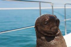 一在骨骼附近岸的海狗游泳巨大的牧群  免版税图库摄影