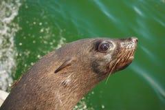 一在骨骼附近岸的海狗游泳巨大的牧群  免版税库存照片