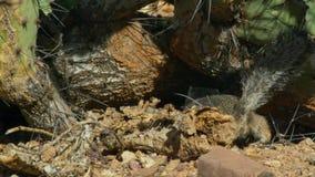 一地松鼠Xerus inaurus在喀拉哈里沙漠,南非的特写镜头 免版税库存照片