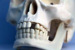 一块人的头骨的塑料模型 免版税图库摄影