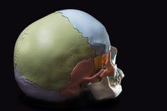 一块人的头骨的模型 库存照片
