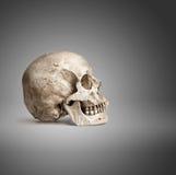 一块人的头骨 库存图片