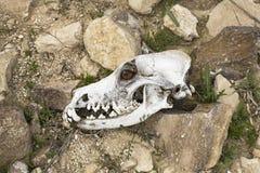 一块似犬头骨和一条生存狗的眼睛的综合 库存照片