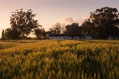 一块农舍和麦田在黎明在乡下 免版税库存照片