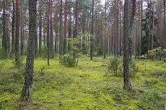一块小沼地在用青苔和罕见的杉木盖的森林里 库存图片