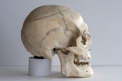 一块真正的人的头骨,在轻的背景的特写镜头 免版税库存图片