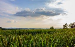 一块麦田在与云彩的夏天和黑暗的补丁在中部 免版税图库摄影