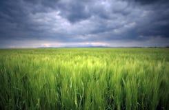 一块绿色麦田的图象有风雨如磐的云彩背景 免版税库存图片