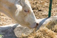 一大母牛吃的侧视图 免版税库存照片