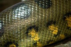 一大水蟒蛇水蟒murinus的细节 库存照片