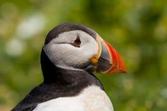 一大西洋海鹦Fratercula arctica的首肩的关闭 库存图片