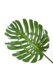 一大monstera的叶子在白色的 免版税库存图片
