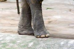 一头亚洲大象的腿 亚洲大象一个非常巨大的动物 库存照片