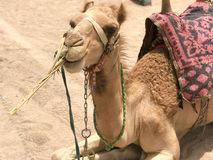 一头休息的双峰的黄色沙漠美丽的骆驼的画象与吃在沙子的秸杆在埃及关闭视图的鞔具的 免版税图库摄影