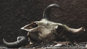 一头公牛的头骨在黑墙壁背景的 选择聚焦 库存照片