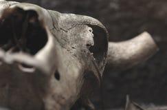 一头公牛的头骨在黑墙壁背景的 选择聚焦 免版税库存照片