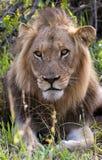一头公狮子的画象在他的自然生态环境 免版税图库摄影
