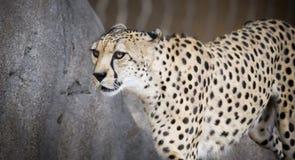 一头动物园猎豹通过它的封入物篱芭  免版税库存图片