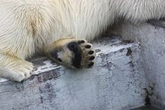 一头北极熊的爪子 免版税库存图片