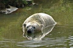 一头北极熊,一头北熊,一umka拉特 熊属类maritimus,世界的最大的土地掠食性动物 北极熊在水中 r 库存图片