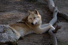 一头北极狼的画象 图库摄影