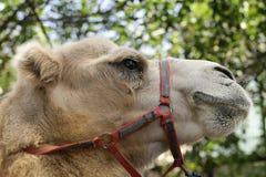 一头双峰的骆驼的画象 免版税图库摄影