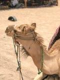 一头双峰的黄色沙漠美丽的骆驼的画象在外形的在沙子在埃及 库存照片