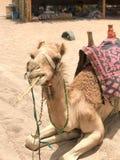 一头双峰的黄色沙漠美丽的骆驼,在埃及吃在沙子的秸杆的沙漠船画象 图库摄影