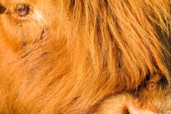 一头哭泣的高地牛母牛的特写镜头 免版税库存照片