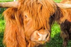 一头哭泣的高地牛母牛,去成为肉 库存图片