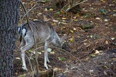 一头唯一常设鹿在森林他没有面孔-法国 免版税库存照片