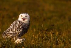 一头多雪的猫头鹰 免版税图库摄影