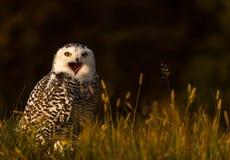 一头多雪的猫头鹰 库存图片