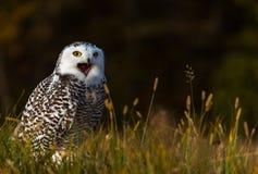 一头多雪的猫头鹰 免版税库存照片