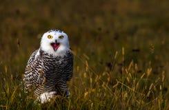 一头多雪的猫头鹰 免版税库存图片