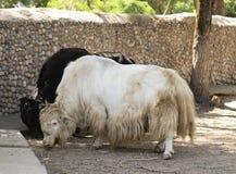 一头大公牛牦牛的画象 图库摄影