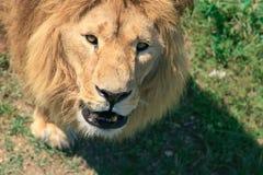 一头大公非洲狮子(豹属利奥)的画象反对gra 库存照片