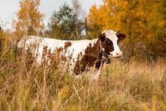 一头大和成人母牛吃在牧场地的草 免版税图库摄影