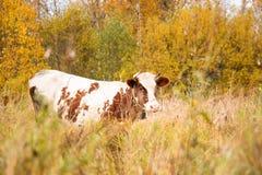 一头大和成人母牛吃在牧场地的草 库存图片