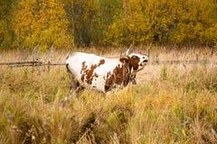 一头大和成人母牛吃草并且在牧场地割 库存照片