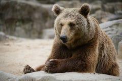 一头大棕熊在一块大灰色石头附近坐 免版税库存照片