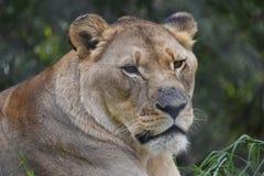 一头大母狮子的美丽的画象在南非 库存照片