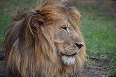 一头大狮子的美丽的画象在南非 免版税库存图片