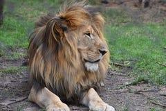 一头大狮子的美丽的画象在南非 库存照片