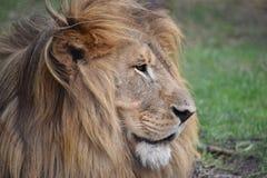 一头大狮子的美丽的画象在南非 图库摄影