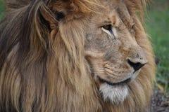 一头大狮子的美丽的画象在南非 免版税库存照片